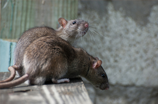 Rat Extermination Greater London